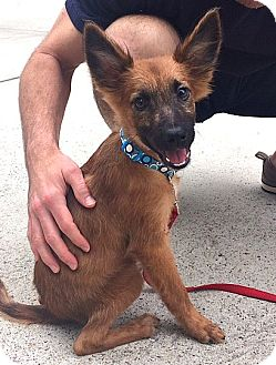 German Shepherd Dog/Australian Cattle Dog Mix Puppy for adoption in Boulder, Colorado - Merlin- ADOPTION PENDING