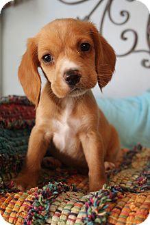 Cocker Spaniel/Labrador Retriever Mix Puppy for adoption in Southington, Connecticut - Miller
