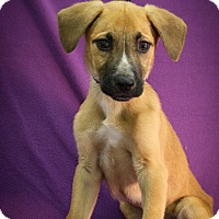 Adopt A Pet :: Guinness - Broomfield, CO
