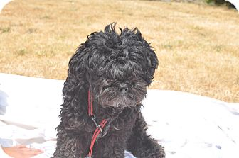 Poodle (Miniature)/Terrier (Unknown Type, Small) Mix Dog for adoption in Tumwater, Washington - Delila