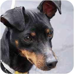 Miniature Pinscher Dog for adoption in Brockton, Massachusetts - SPARKIE