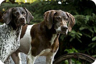 German Shorthaired Pointer Dog for adoption in Anchorage, Alaska - Poppy