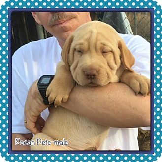 Shar Pei Mix Puppy for adoption in Spring Valley, New York - Pecan Pete