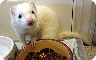Ferret for adoption in Brandy Station, Virginia - DUDE