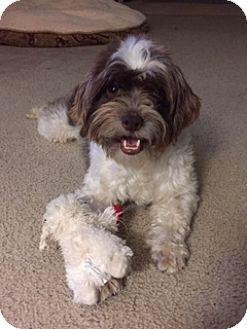 Maltese Mix Dog for adoption in San Antonio, Texas - Toby