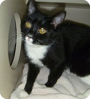 Domestic Shorthair Cat for adoption in Hamburg, New York - Rocky
