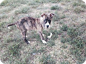 Boston Terrier/Boxer Mix Puppy for adoption in Weatherford, Texas - JoJo