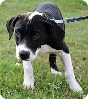 Labrador Retriever/Hound (Unknown Type) Mix Puppy for adoption in Elgin, Oklahoma - Gracie