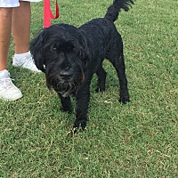 Cocker Spaniel/Welsh Terrier Mix Dog for adoption in Lockhart, Texas - Hudson