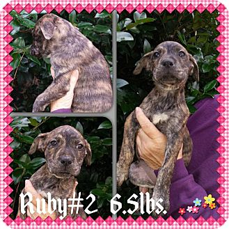 Labrador Retriever/Hound (Unknown Type) Mix Puppy for adoption in Sumter, South Carolina - Ruby
