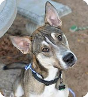 German Shepherd Dog/Husky Mix Dog for adoption in New Smyrna Beach, Florida - Buddy