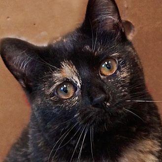 Domestic Shorthair Cat for adoption in Sprakers, New York - Bridget