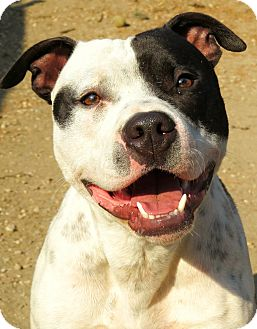 Pit Bull Terrier Mix Dog for adoption in West Babylon, New York - Titan