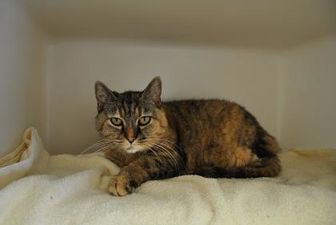 Domestic Shorthair/Domestic Shorthair Mix Cat for adoption in Jackson, Wyoming - Patsy