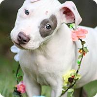 Adopt A Pet :: Kehlani - North Vancouver, BC