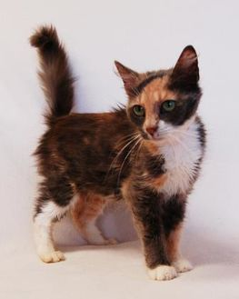 Domestic Shorthair/Domestic Shorthair Mix Cat for adoption in Toccoa, Georgia - Emma