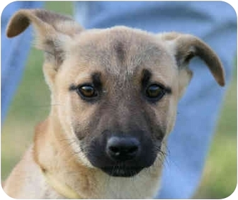 Shepherd (Unknown Type) Mix Puppy for adoption in kennebunkport, Maine - Marty-URGENT