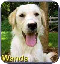 Labrador Retriever/Terrier (Unknown Type, Medium) Mix Dog for adoption in Aldie, Virginia - Wanda