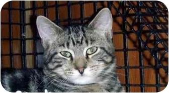 Domestic Shorthair Kitten for adoption in Randolph, New Jersey - Lynx
