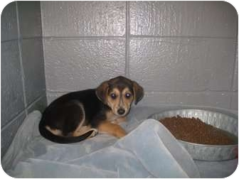 Shepherd (Unknown Type) Mix Puppy for adoption in Henderson, North Carolina - Lucky