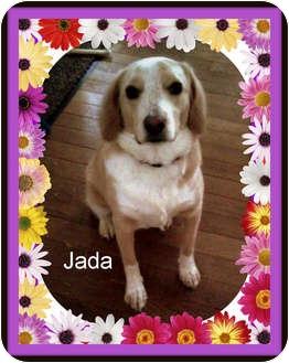 Labrador Retriever/Beagle Mix Dog for adoption in Canton, Ohio - Jada