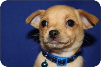 Chihuahua Mix Puppy for adoption in Broomfield, Colorado - Haven