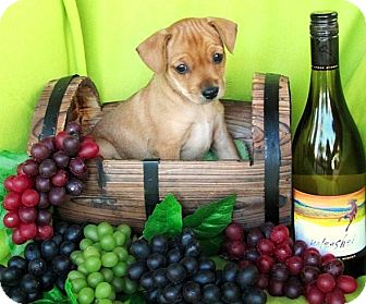Labrador Retriever/Beagle Mix Puppy for adoption in Irvine, California - Quintessa (Tessa)