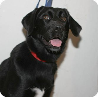 Retriever (Unknown Type) Mix Dog for adoption in Mt. Prospect, Illinois - Macy