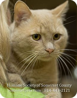Domestic Shorthair Cat for adoption in Somerset, Pennsylvania - Apolo