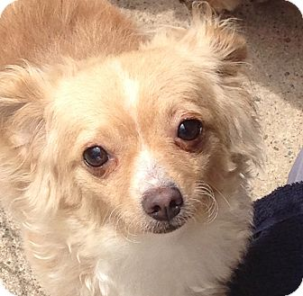 Chihuahua Dog for adoption in San Marcos, California - Pixie