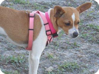 Chihuahua/Rat Terrier Mix Dog for adoption in Lockhart, Texas - Sugar