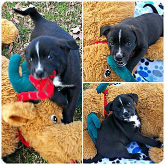 Border Collie/Australian Shepherd Mix Puppy for adoption in Middletown, Connecticut - BooRay