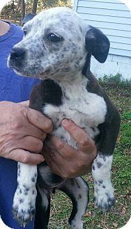 Boston Terrier Mix Puppy for adoption in Dumfries, Virginia - Wilma