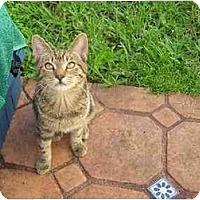 Adopt A Pet :: Female tabbies - Fort Lauderdale, FL