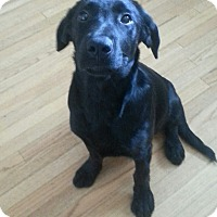 Adopt A Pet :: Scarlet - Chicago, IL