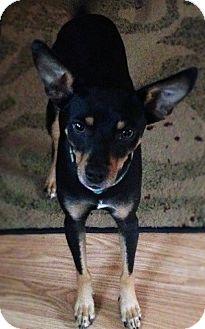 Miniature Pinscher Mix Puppy for adoption in Brattleboro, Vermont - Winston