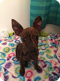 Chihuahua/Terrier (Unknown Type, Small) Mix Puppy for adoption in Palmetto Bay, Florida - Izzy