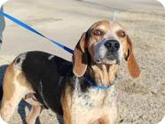 English (Redtick) Coonhound Mix Dog for adoption in Stillwater, Oklahoma - Brooke