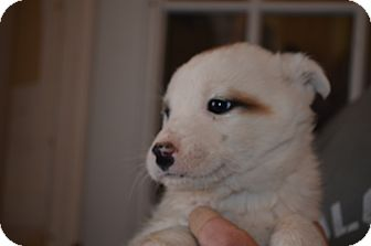 Great Pyrenees/Labrador Retriever Mix Puppy for adoption in Westminster, Colorado - Bentley