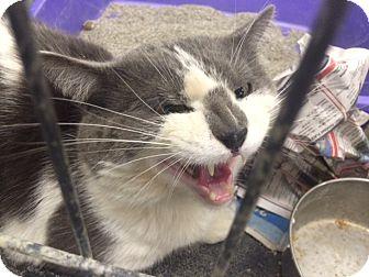 Domestic Shorthair Cat for adoption in Wythe County, Virginia - Alan Jackson