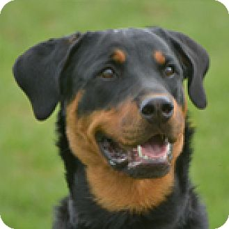 Rottweiler Dog for adoption in Carlsbad Springs, Ontario - Bear