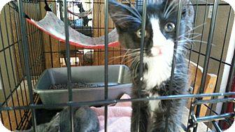Domestic Mediumhair Kitten for adoption in Seattle, Washington - Muddy Waters