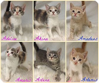 Domestic Shorthair Kitten for adoption in Joliet, Illinois - Arlena