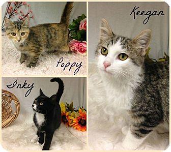 Domestic Shorthair Kitten for adoption in Joliet, Illinois - Poppy