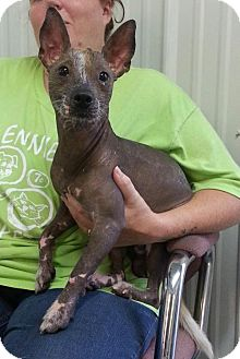 Xoloitzcuintle/Mexican Hairless Dog for adoption in Greenville, Kentucky - UGGY