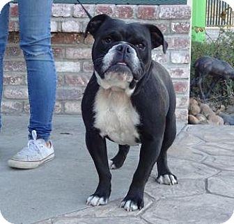 English Bulldog Dog for adoption in Lathrop, California - Letty