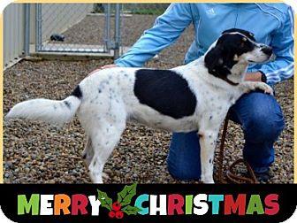 Border Collie/English Setter Mix Dog for adoption in Duart, Ontario - Brandy