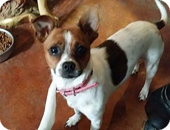 Chihuahua/Jack Russell Terrier Mix Dog for adoption in Inland Empire, California - CHACHA