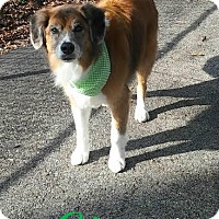 Adopt A Pet :: Ginger - House Springs, MO