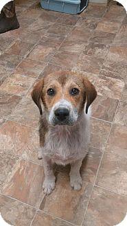 Labrador Retriever/Hound (Unknown Type) Mix Puppy for adoption in Darlington, South Carolina - Jack